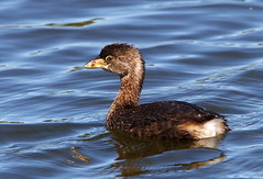 Pied-billed Grebe - by Rick Leche
