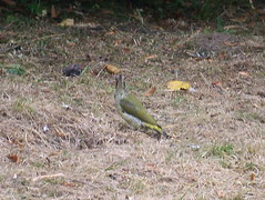 Green Woodpecker in Russia Dock Woodland