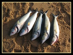 Salmon Catch Waitpinga (MsKiKi) Tags: fish beach sand salmon beachfishing waitpinga fishinginsouthaustralia