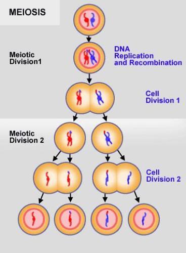 meiosis and mitosis. meiosis and mitosis.