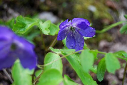 8 - Little Blue Flower