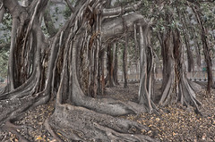 (Carlo Columba) Tags: tree alberi italia roots it ficus palermo albero tronco radici piazzamarina magnoliodes