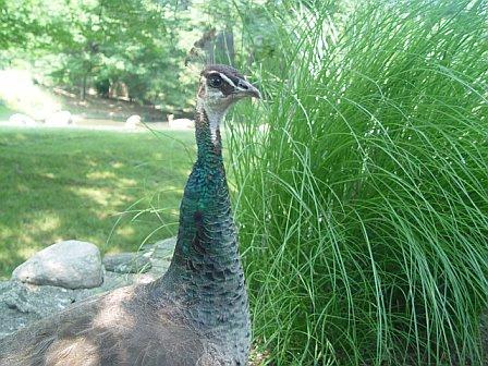 One peacock peeking