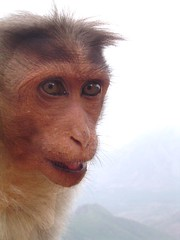 | Mongey | (Rajendran Rajesh) Tags: closeup monkey ape kodaikanal naturesfinest blueribbonwinner indianmonkey superbmasterpiece