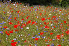 Cornflowers and Poppies 4 (rajthesnapper) Tags: poppies wendover cornflowers