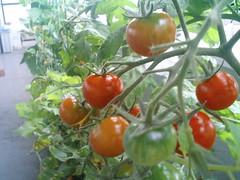 ミニトマト(赤色)