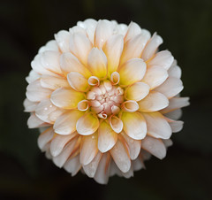 """Perfect"" (guenterleitenbauer) Tags: pictures dahlia plants plant flower macro canon ball garden linz photo klein perfect foto searchthebest image photos blossom pflanze pflanzen picture blumen images fotos gross nah grn macros bild blume makro blte rund garten perfekt bilder nahaufnahme insekten 2007 kugel gnter blten kreis botanik botanischergarten blhen makros dahlie naturesfinest top20flowers guenter august2007 aplusphoto leitenbauer flowershare flowersmakeeveryonehappy wwwleitenbauernet"