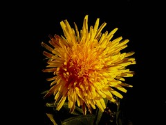 dandelion (nanika0707) Tags: wood trip travel plant flower color colour yellow ball spring europa hungary natur blow dandelion 2007 pitypang kisoroszi
