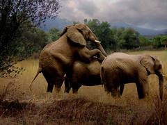 Stormy Love (freejay3) Tags: wild love sex photoshop manipulation safari elephants freejay freejay3 photoshoptalent manipulased