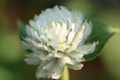 Gomphrena globosa-white