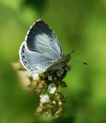 Holly Blue (Celastrina argiolus) (nutmeg66) Tags: macro nature fauna butterfly garden blues insects august lincolnshire lepidoptera 2007 minibeasts sigma105mm 400d