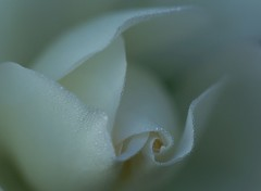 Dew drops delight on flickr (tollen) Tags: white rose silver drops bravo thankyou dew workingmylist