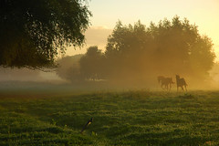Horses at Sunrise (buteijn) Tags: morning horses horse sun mist holland fall misty fog sunrise gold haze nevel herfst nederland niederlande goud driebergen blueribbonwinner langbroek ochtendmist supershot abigfave