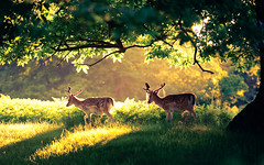 in a land where only magic happens (andrew evans.) Tags: lighting morning trees light england sun nature fairytale forest sunrise kent woods nikon bokeh wildlife deer ethereal wonderland storybook magical 70200 f28 enchanted d3