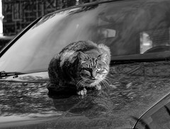 car cat (Hindrik S) Tags: auto white black car animal cat kat felix pussy natuur creation beast cpf dier poes tier beest natuer schepping blackandwhitenature natoer skepping
