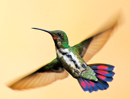 フリー写真素材, 動物, 鳥類, ハチドリ科, ムナグロマンゴ,
