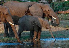 Elephants Drinking, Savuti in Chobe National Park, Botswana