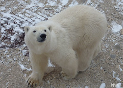 Polar Bear Near Churchill, Manitoba, Canada