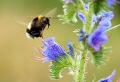 Feeding dish.three (gerhard.1962) Tags: flowers macro nature d50 nikon natur blumen nikond50 bumblebee nectar nahaufnahme hummel nektar blten universum ishflickr closesr