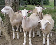 Young ewe lambs