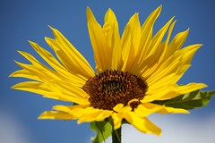 Sunflower ! (stari_ribic) Tags: lenstagged canoneos5d canonef70200mmf4lisusm flickrelite