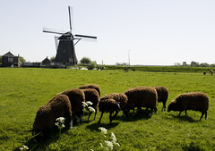 Follow the leader! (Ferdi's - World) Tags: mill netherlands windmill moulin sheep molino molen zuidholland maasland anawesomeshot aplusphoto superbmasterpiece diamondclassphotographer flickrdiamond dijkmolen top20holland ferdidegier ferdisworld muhle muhlen