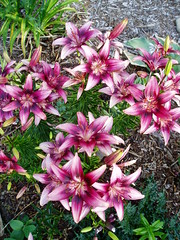 Lilium Pink Pagoda group
