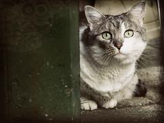 Apprehensive (moggierocket) Tags: door pet cats green cat garden eyes watching stare neko behind alert apprehensive thelittledoglaughed bestofcats pruttel