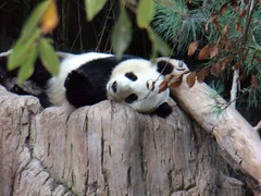how adorable is Mei Sheng? (bob2cleo) Tags: panda sandiegozoo pandas sulin meisheng