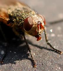 Fly (HappyBubbles) Tags: fly nikon 105 insekt vr fliege nature¨ d80