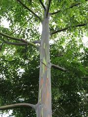 rainbow tree (terri_pics) Tags: hawaii rainforest maui rainbowtree hawaiiantrees