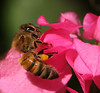 bee curious... (jmtimages) Tags: pink flowers flower macro fall home nature fleur colors beauty closeup austin insect flora backyard bravo texas outdoor flor september bee explore myhome abeille insecte 2007 naturesfinest apidae gtaggroup anawesomeshot