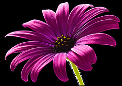 a2889 Purple Senescence (tengtan (away awhile)) Tags: yellow daisies petals purple character blossoms flowering aged backlit soe breathtaking rugged middleage blueribbonwinner abigfave anawesomeshot isawyoufirst auselite platinumheartaward thechallengegroup challengegamewinner macromarvels excapturemacrorequest