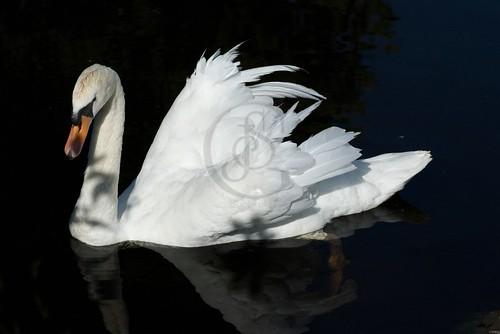 Orillia - Sanctuary Swan (1)