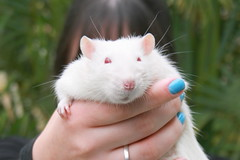 Schrubles (Honey Pie!) Tags: blue cute verde green azul rat nail adorable linus albino unha redeyes fancyrat ratazana olhosvermelhos