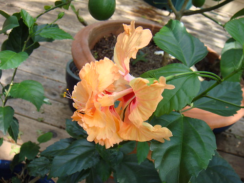 Double apricot hibiscus 2010