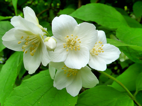 Mock orange blossoms - click to see larger versions