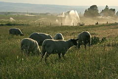 Sheep and sprinklers late in the day (walla2chick) Tags: usa backlight oregon sheep farmland sprinklers supershot