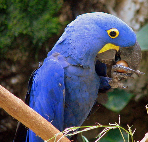 A blue Hyacinth Macaw eats a nut
