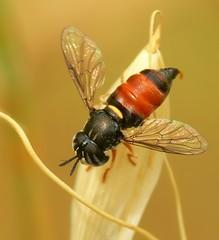 Paragus bicolor - by joaquinportela