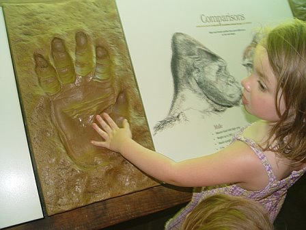 Peanut's hand compared to that of a western lowland gorilla