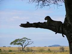 - The pursuit of the elusive leopard (spartan_puma) Tags: tree tanzania feline fb tx safari leopard elusive fx serengeti impressedbeauty