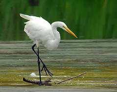 Breaking Sticks (ozoni11) Tags: bird heron nature birds animals river bay wings nikon nest wing wetlands d200 egret greategret herons egrets chesapeakebay nests greategrets animl outstandingshots animaladdiction mywinners ozoni11