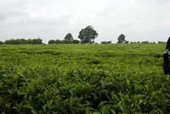 _DHP6994.jpg (Dr Dave6) Tags: day11 teaplantation
