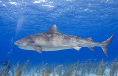 Tiger shark - by WIlly Volk