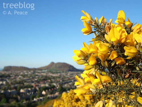gorse with Arthur's Seat in background