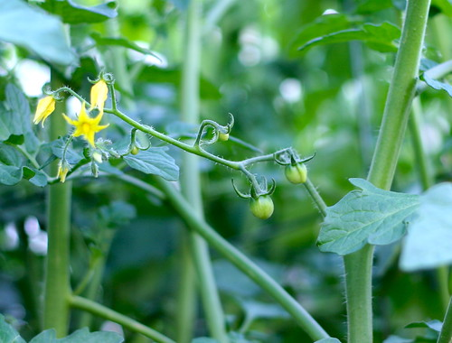 Baby Tomatoes!