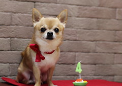 Happy birthday Kanon  (kanonyobo) Tags: birthday chihuahua canon happy kanon 5dmark2