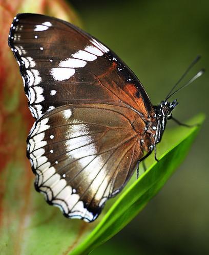 [フリー画像] 動物, 昆虫, 蝶・チョウ, 201010311700
