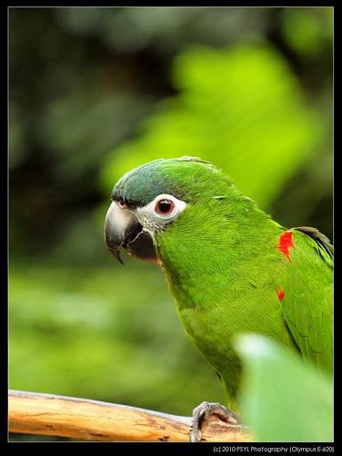 Nelson, the Hahn's Dwarf Macaw (Diopsittaca nobilis)